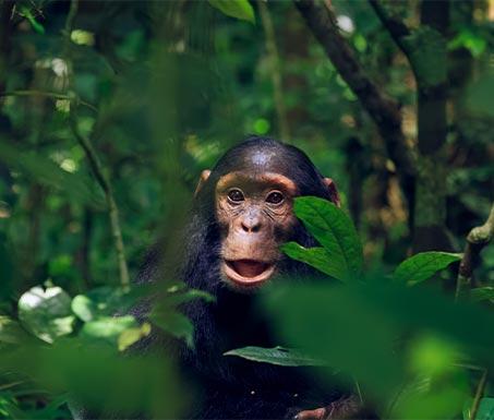 8-days-gorilla-chimp-tracking-safari