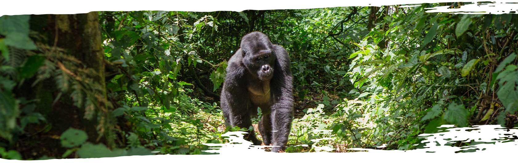 Silverback gorilla in Uganda National Park