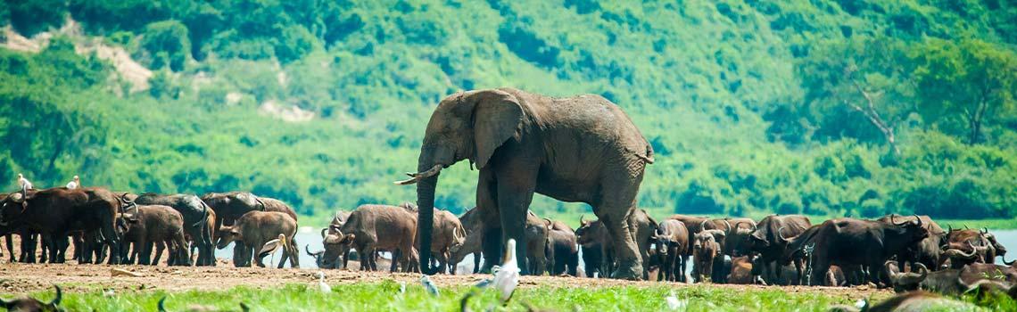 Herd of elephants in National Park Uganda