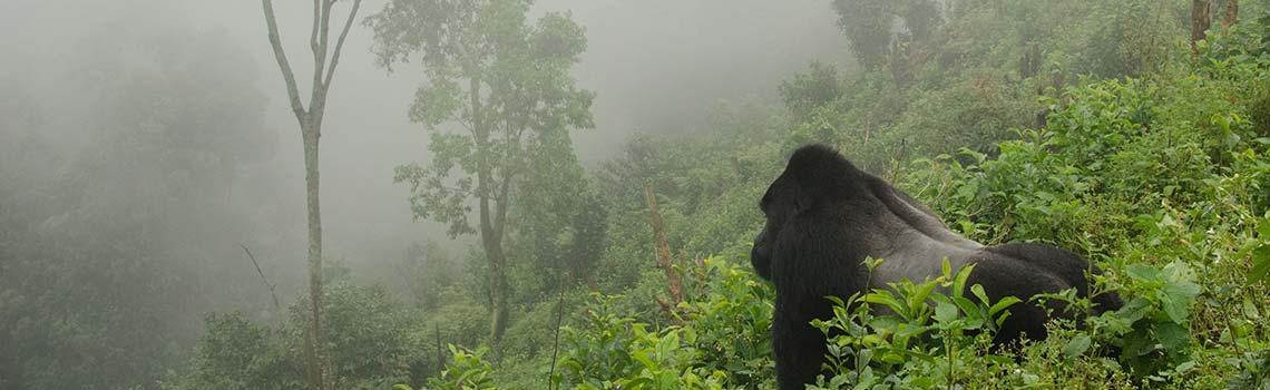 Silverback gorilla Uganda