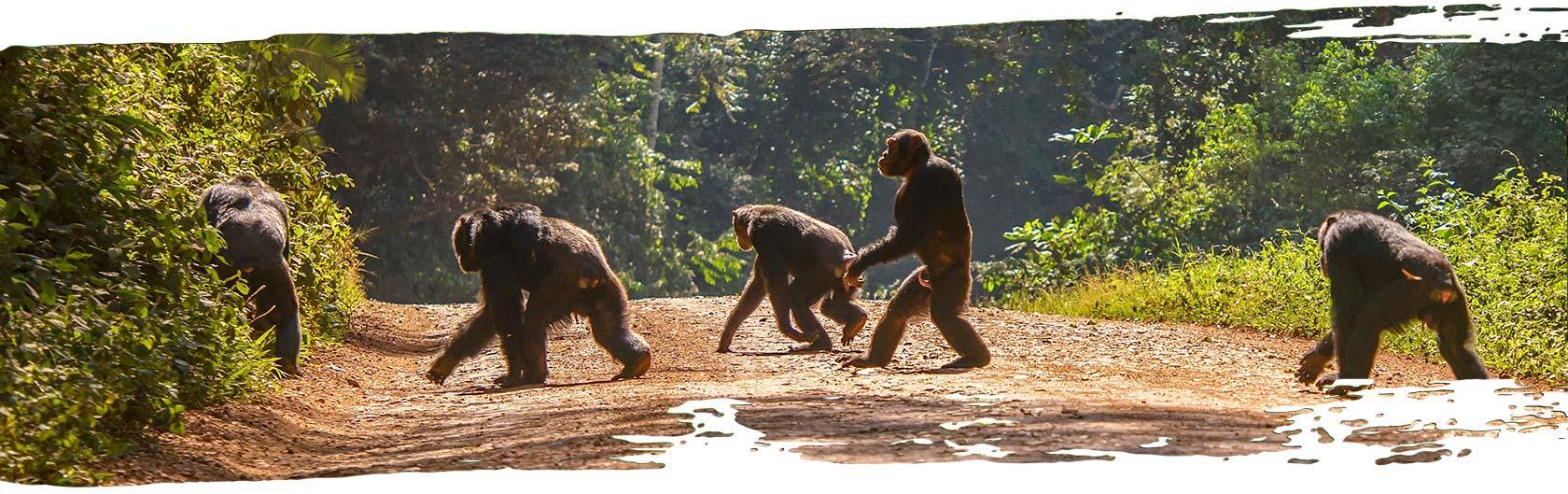Chimps walking across a path