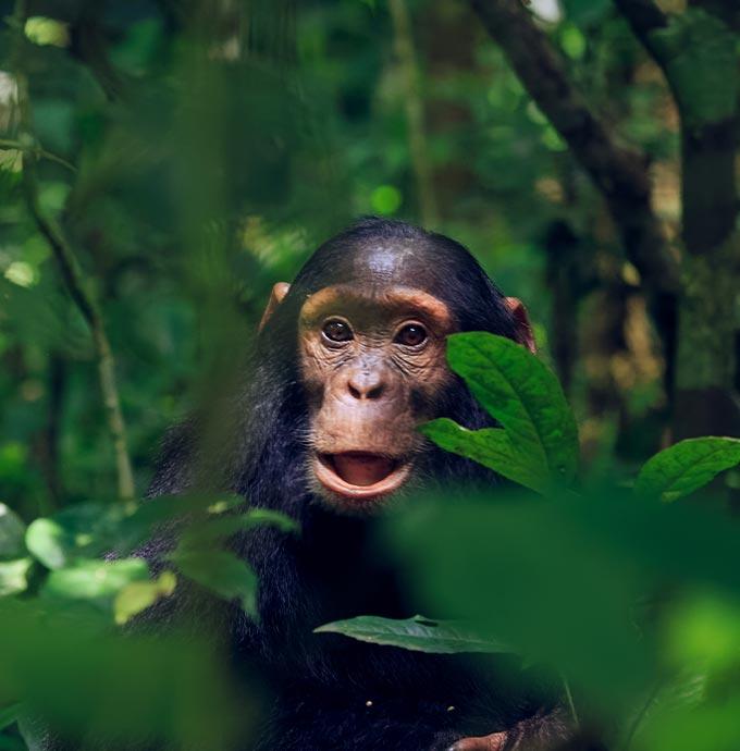 Chimp in Uganda national park