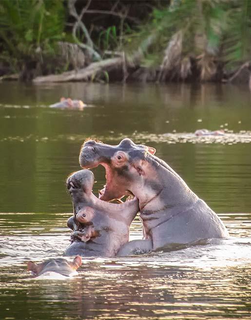 Two hippos in Lake Mburo