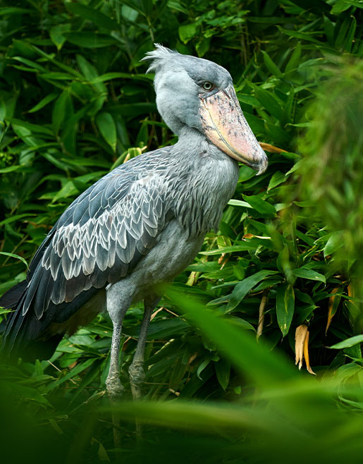 Pelican in Uganda