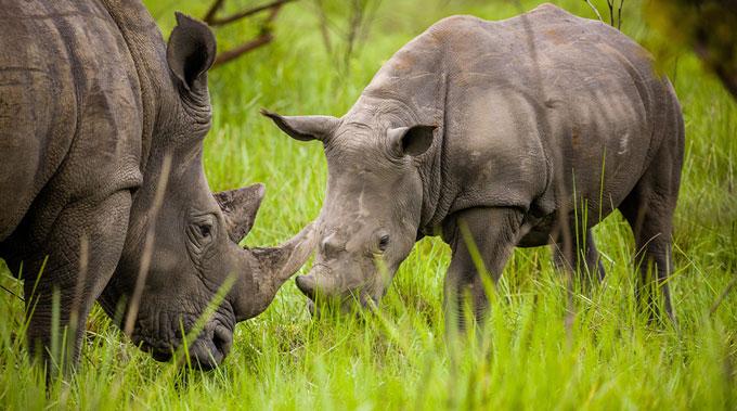 Two rhinos in Uganda