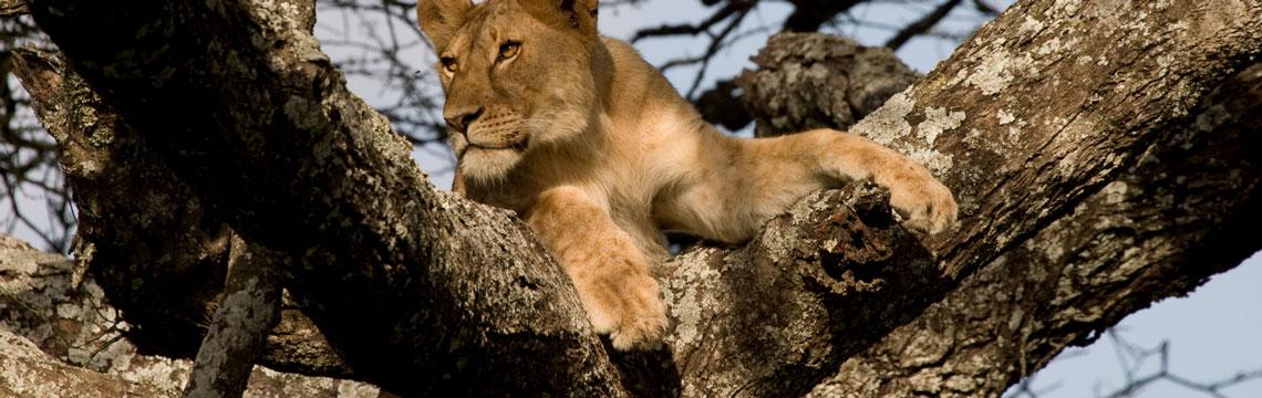 Lion lying in a tree