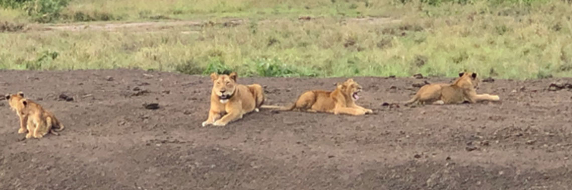 A herd of lions in a National Park