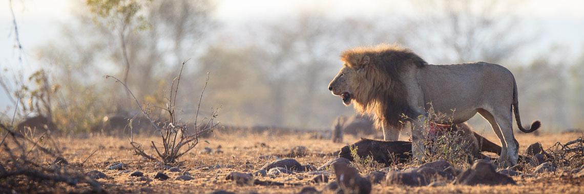 Lion in the savannah